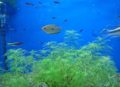 Legújabb akváriumi halaink
