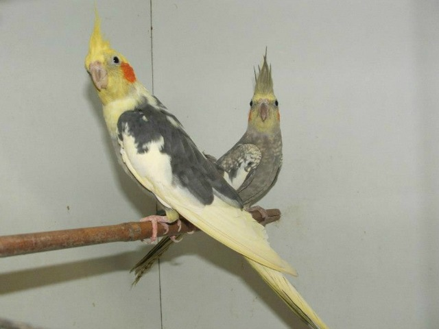 Közepes testű papagájok