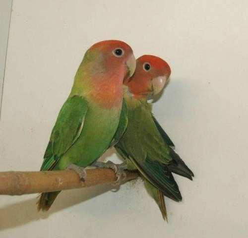 Kistestű papagájok