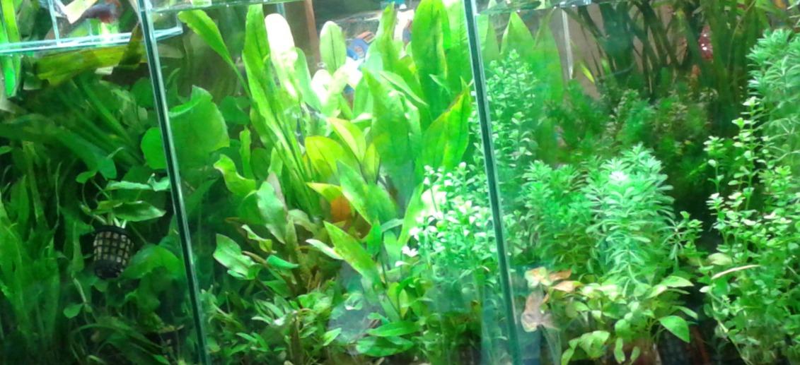 Akvárium növények