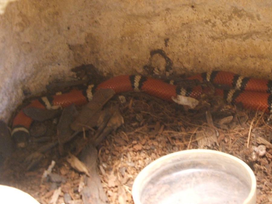 vörös királysikló