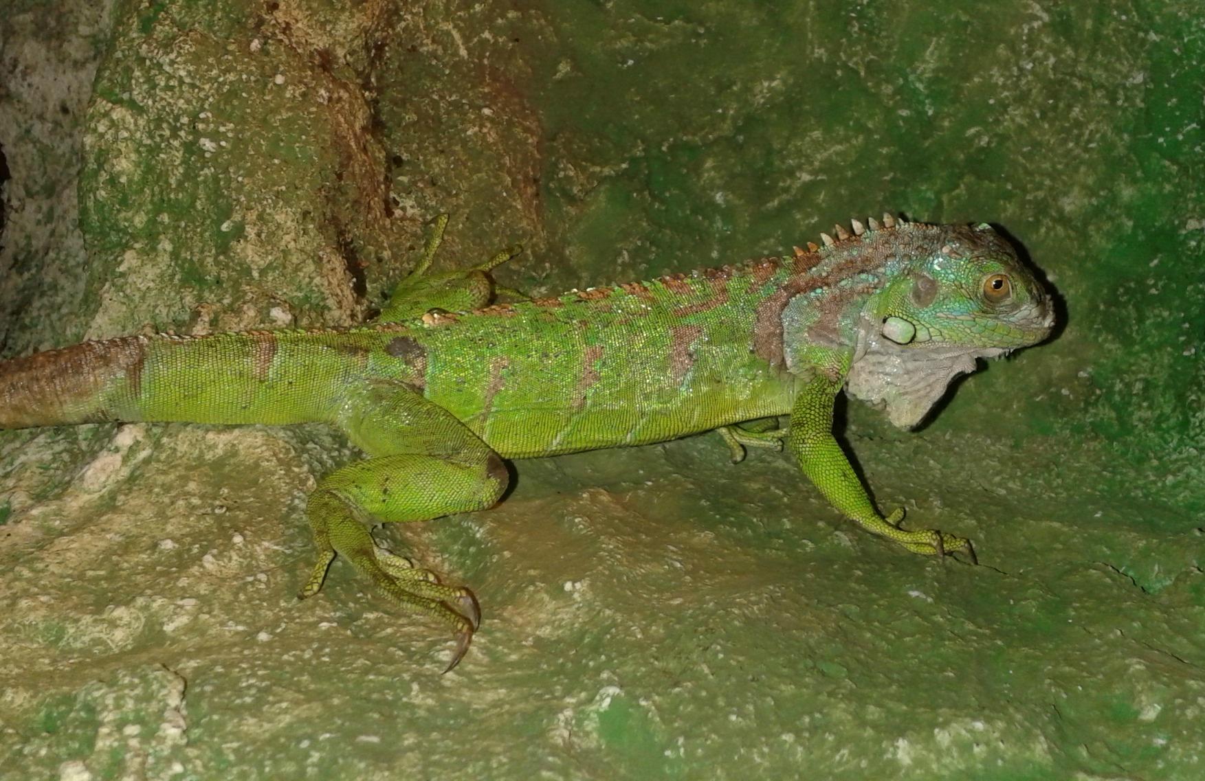 zöld leguán